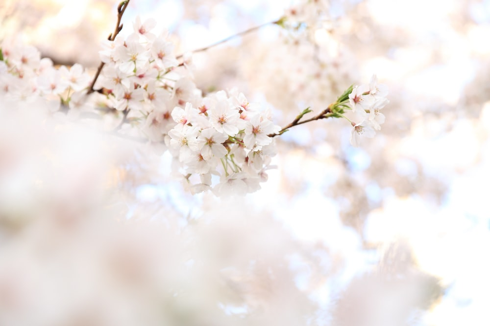 closeup photography white cherry blossoms