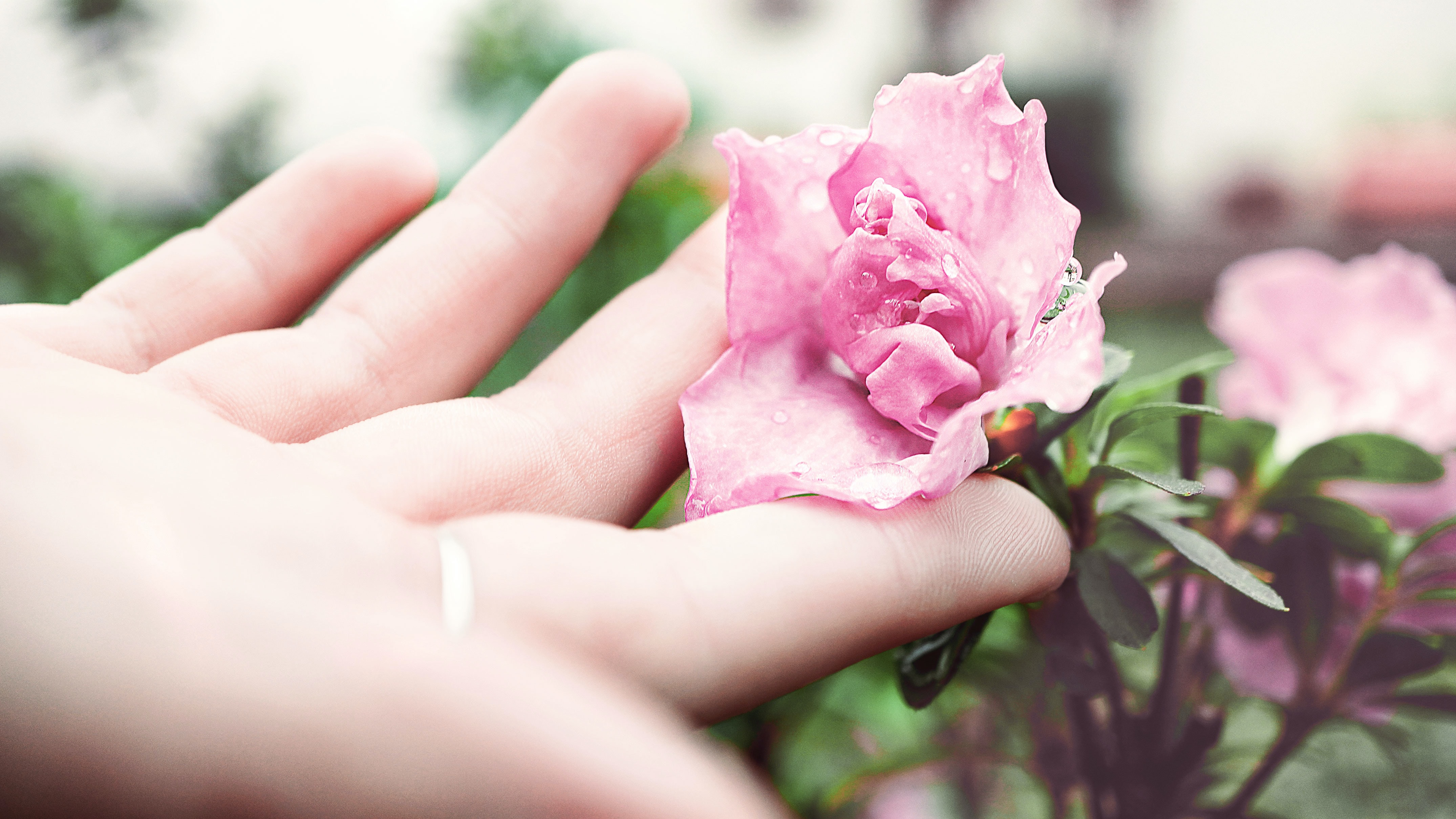 A person's hand gently touching a pink flower