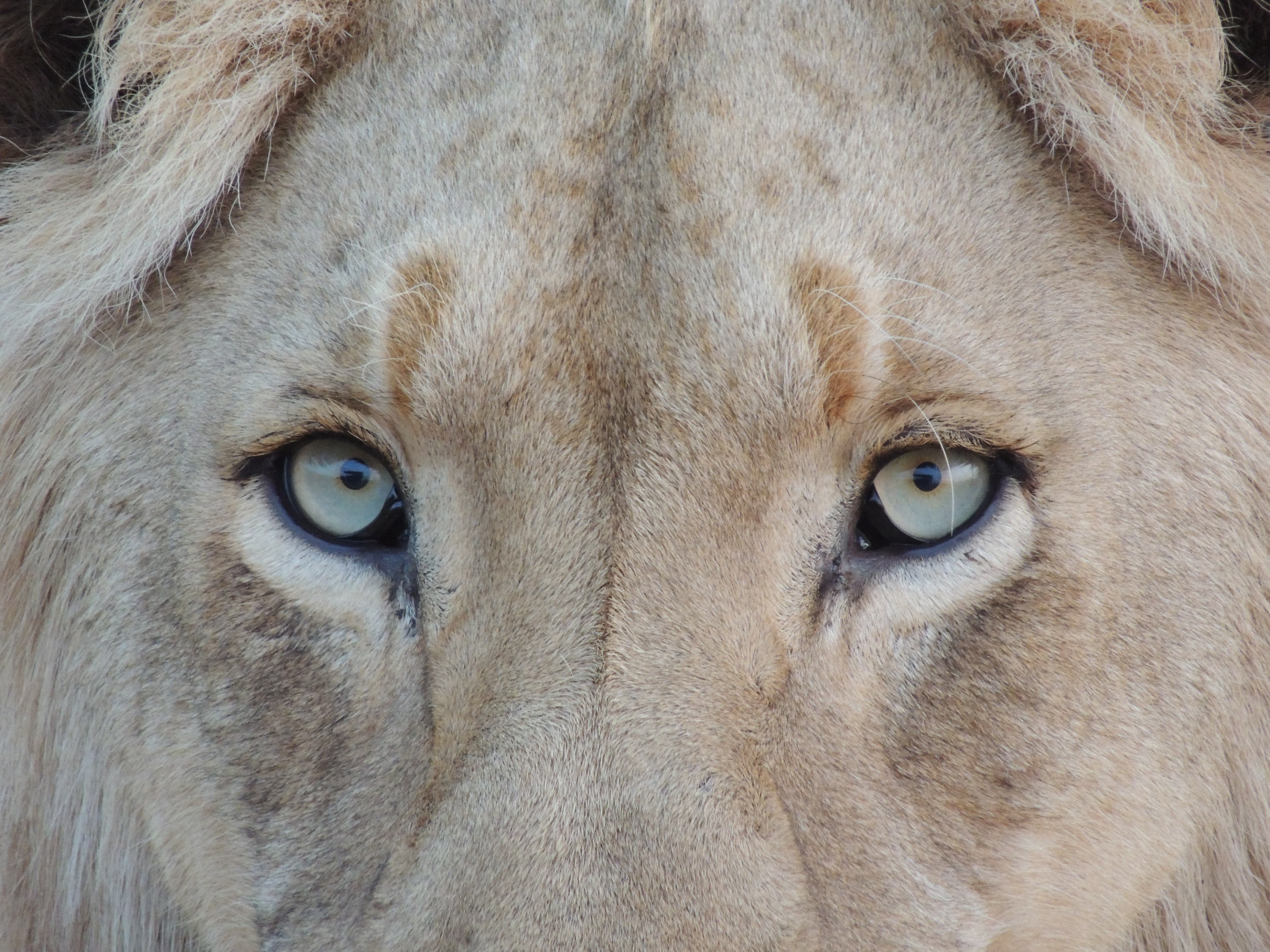 A close-up of a lion's eyes