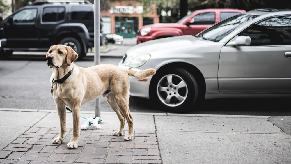 short-coated brown dog standing beside gray car parked on road