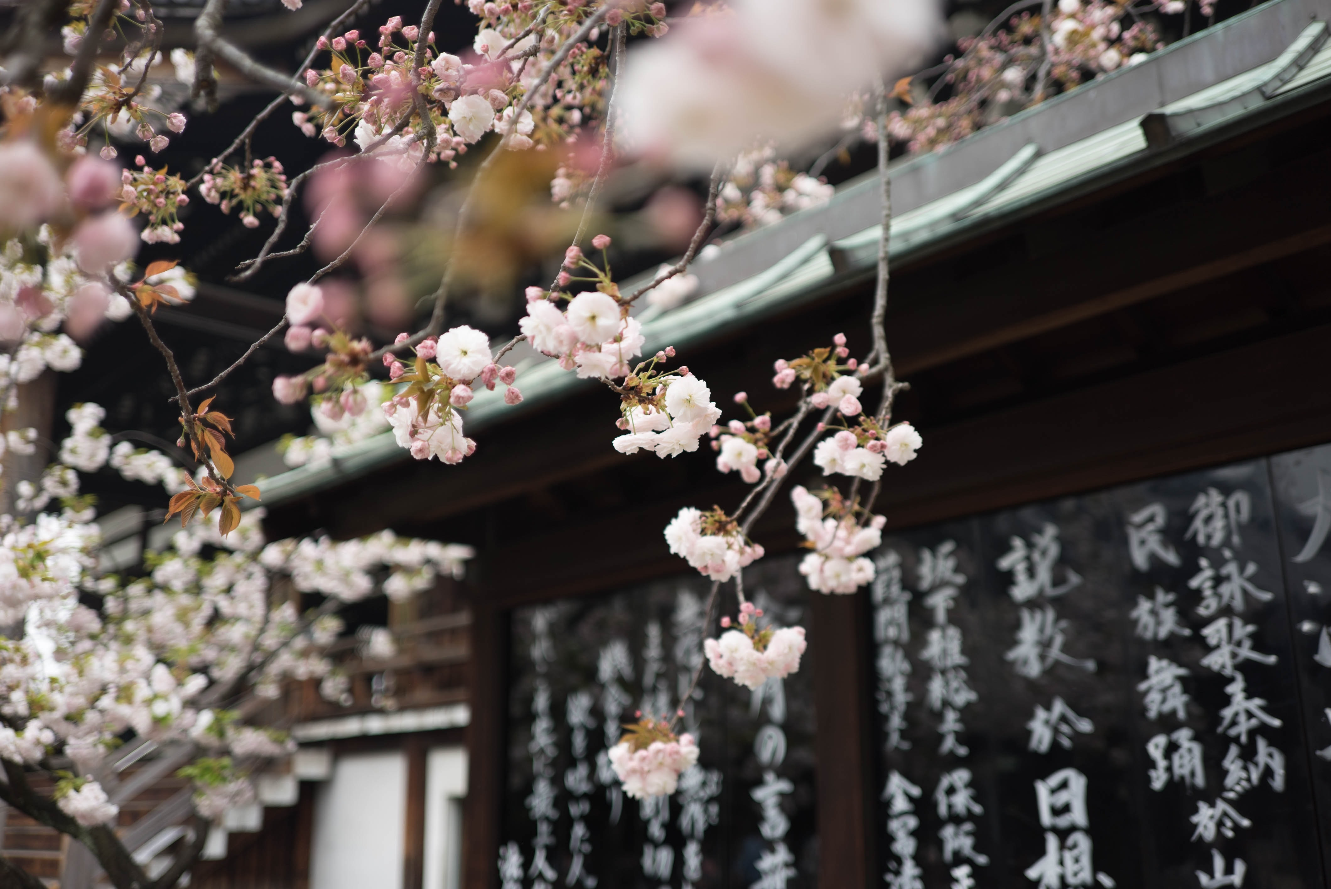 White cherry blossom hanging from a tree over an Asian-style roof