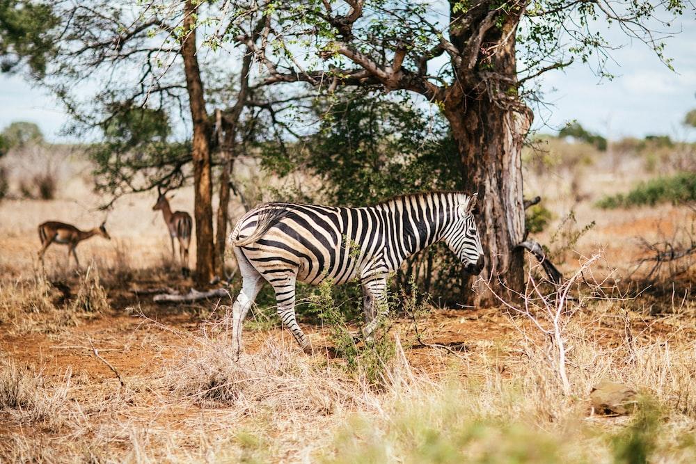 white and black zebra walking on grassland