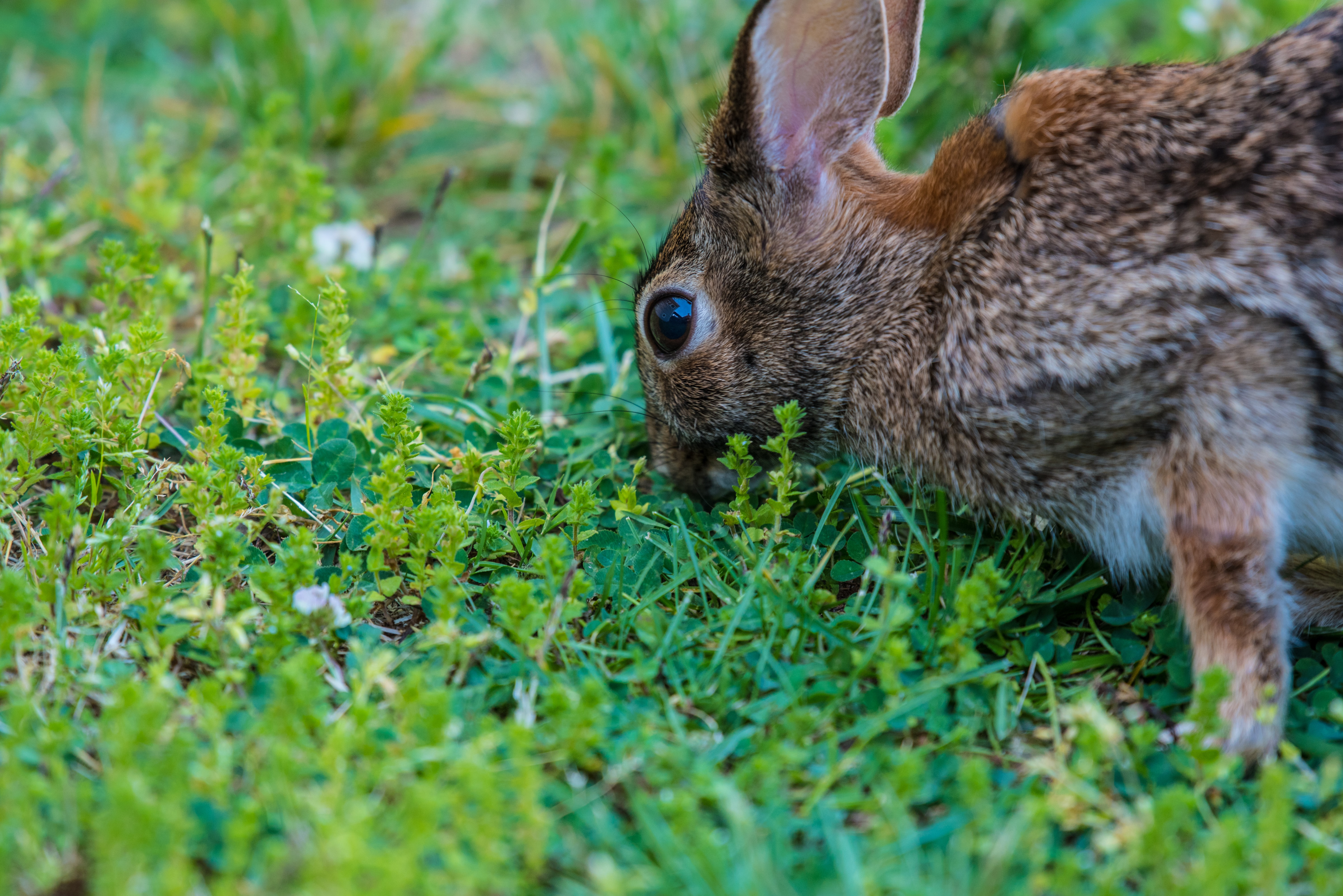 brown rabbit eating green grass at daytime