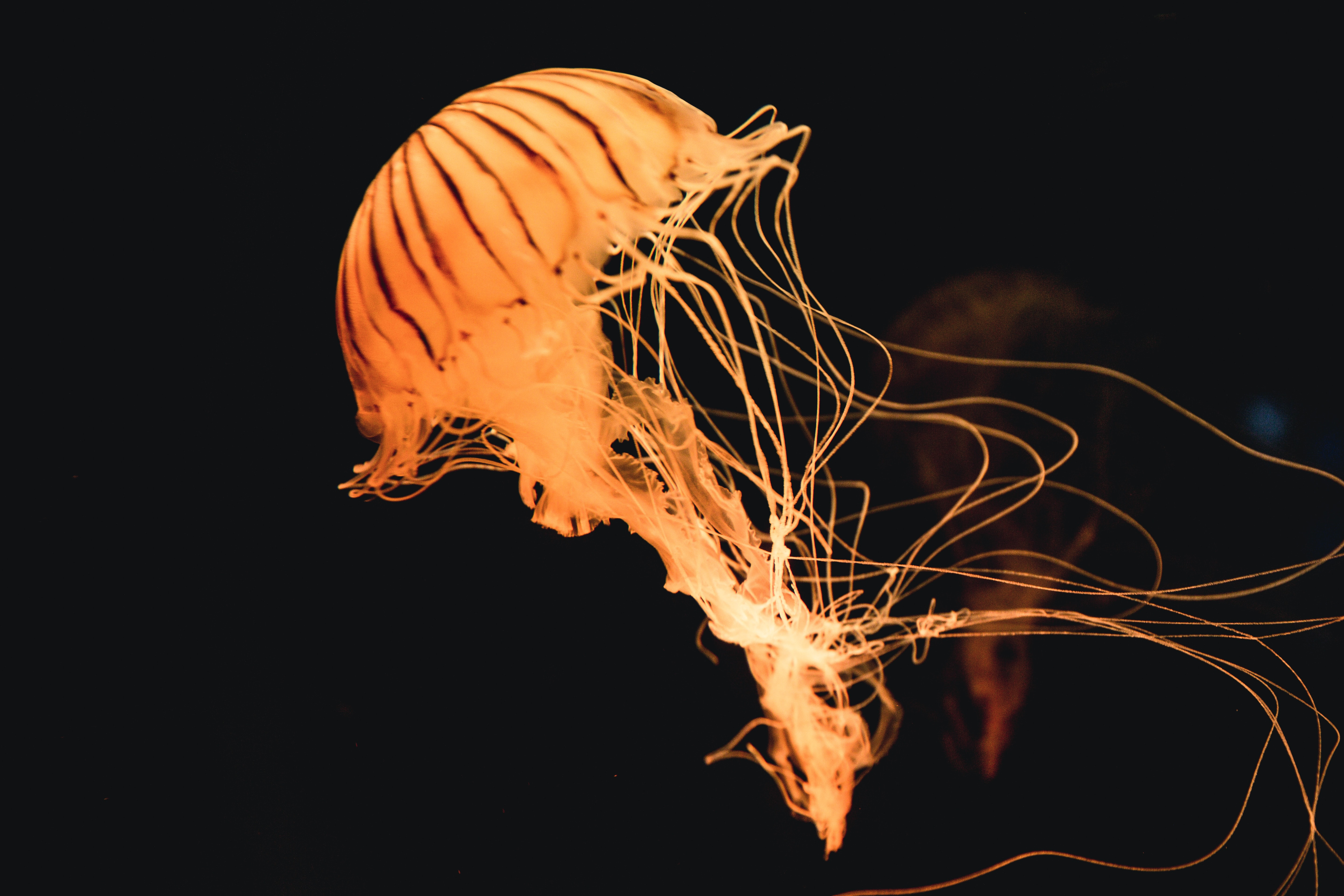 yellow jelly fish under water