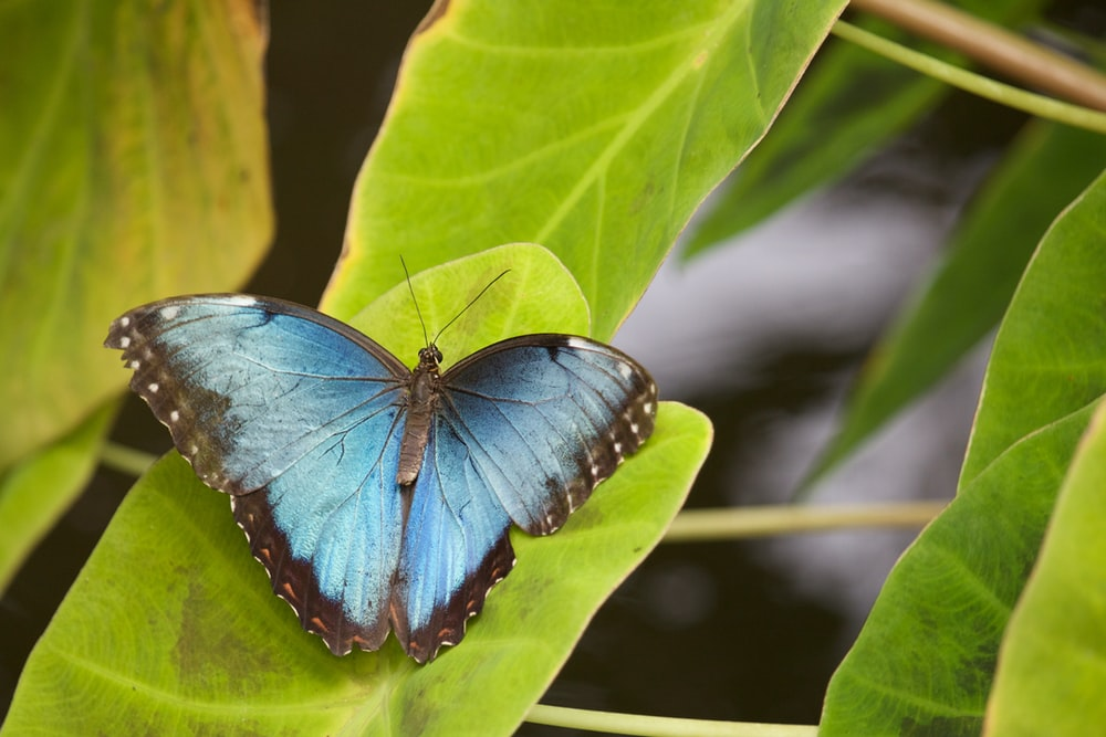 blue and black butterfly on green leaf during daytime