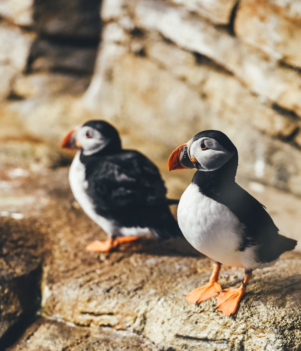 two white-and-black birds perching on rock