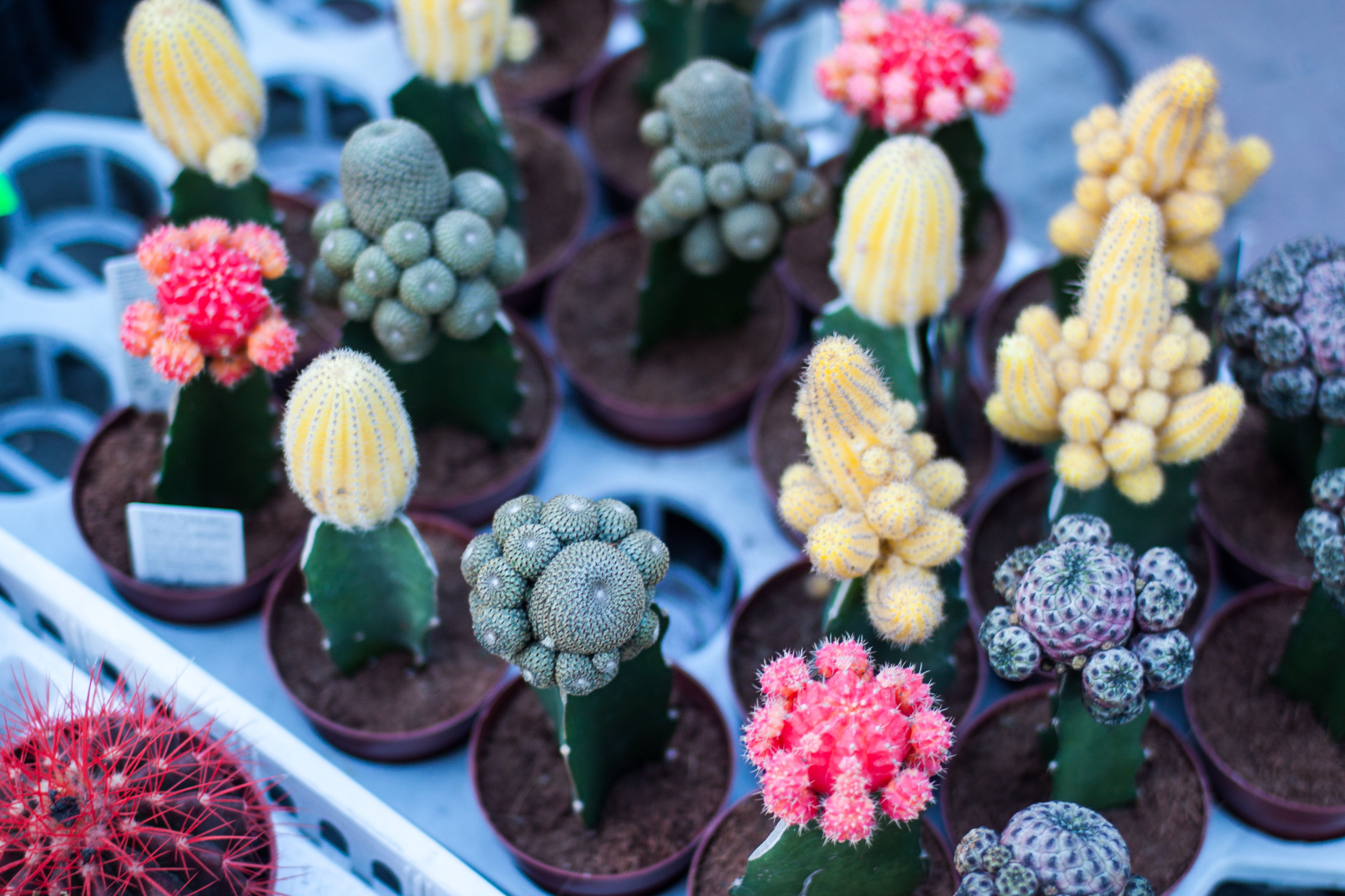 variety of flowering cacti