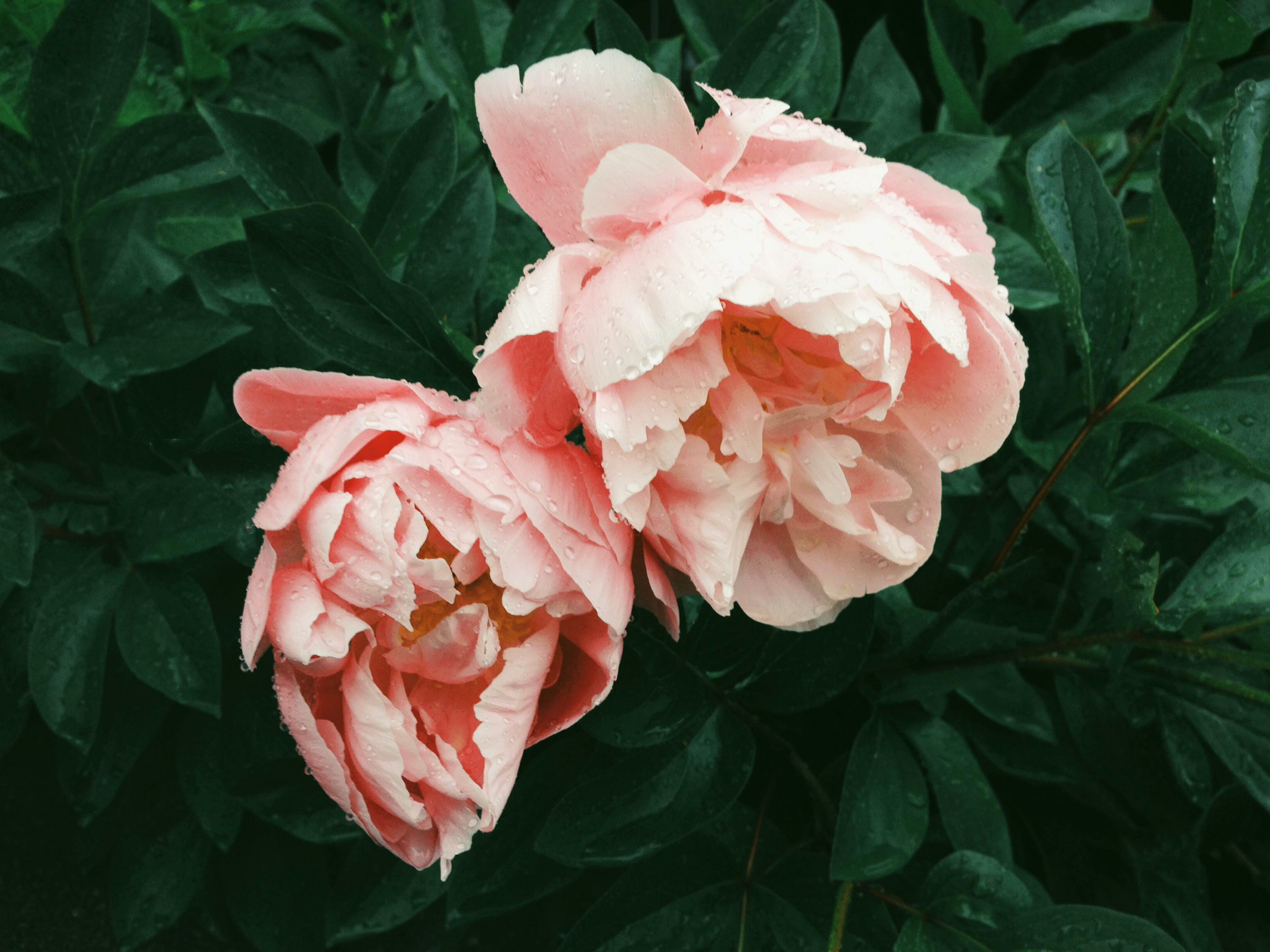 Two delicate pink peonies covered in water droplets