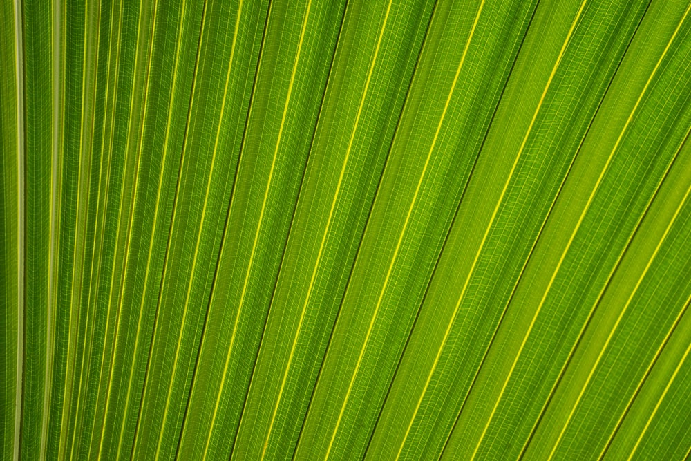 closeup photography of fan palm leaf