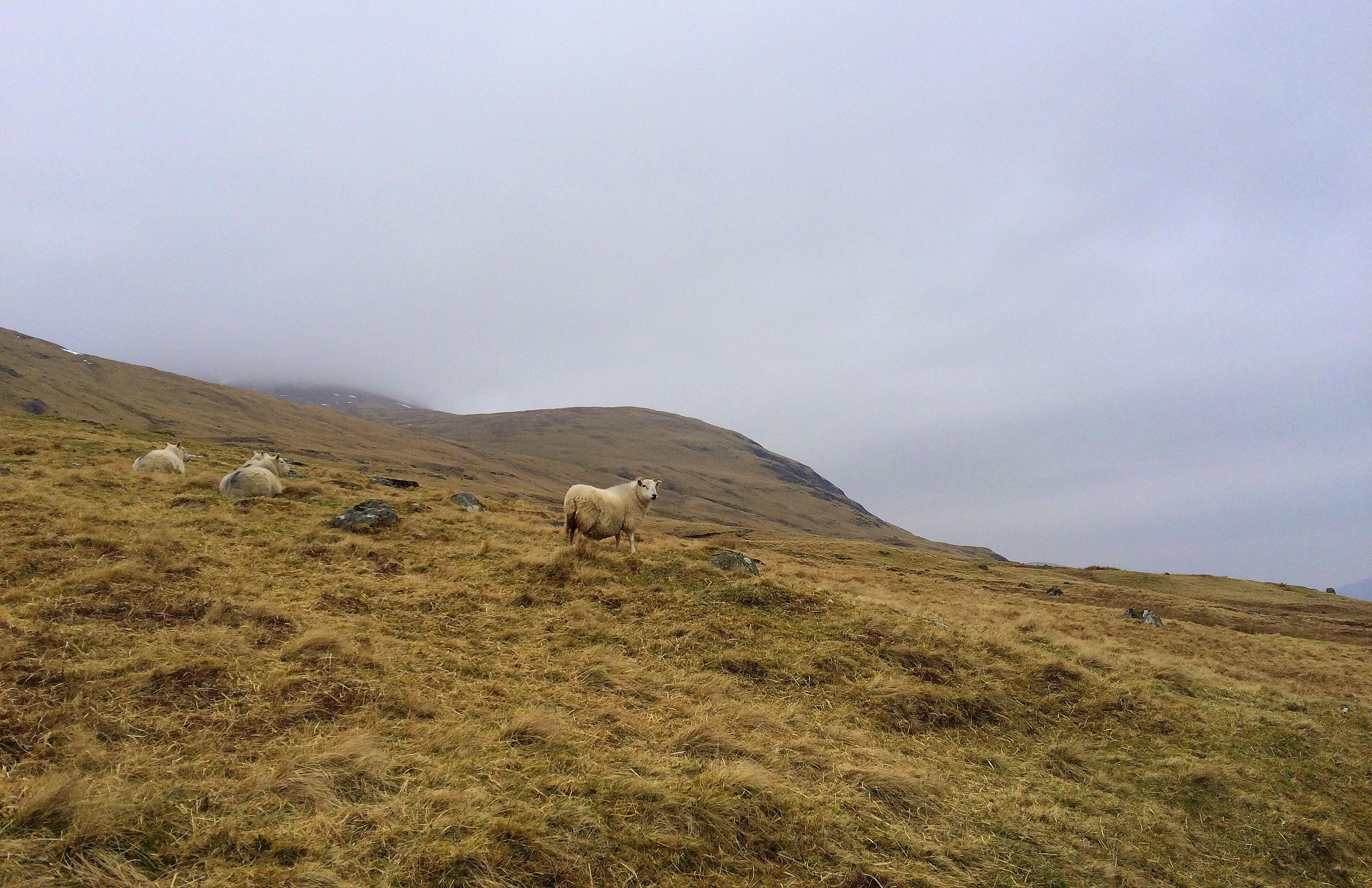 Sheep graze in a grassy hillside on a foggy day