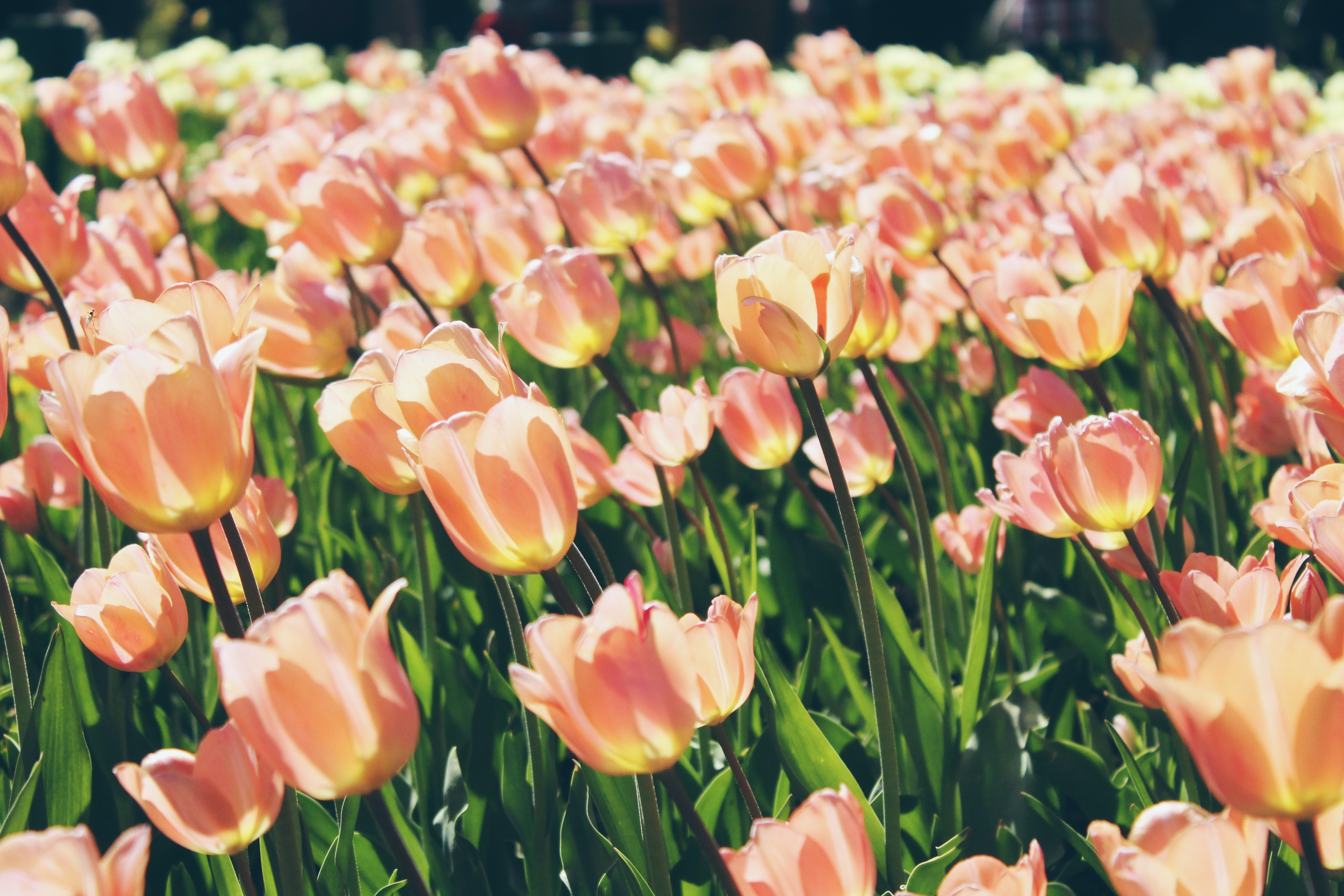 A large grouping of light red tulips in sunlight