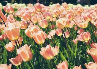 pink tulips blooms at daytime
