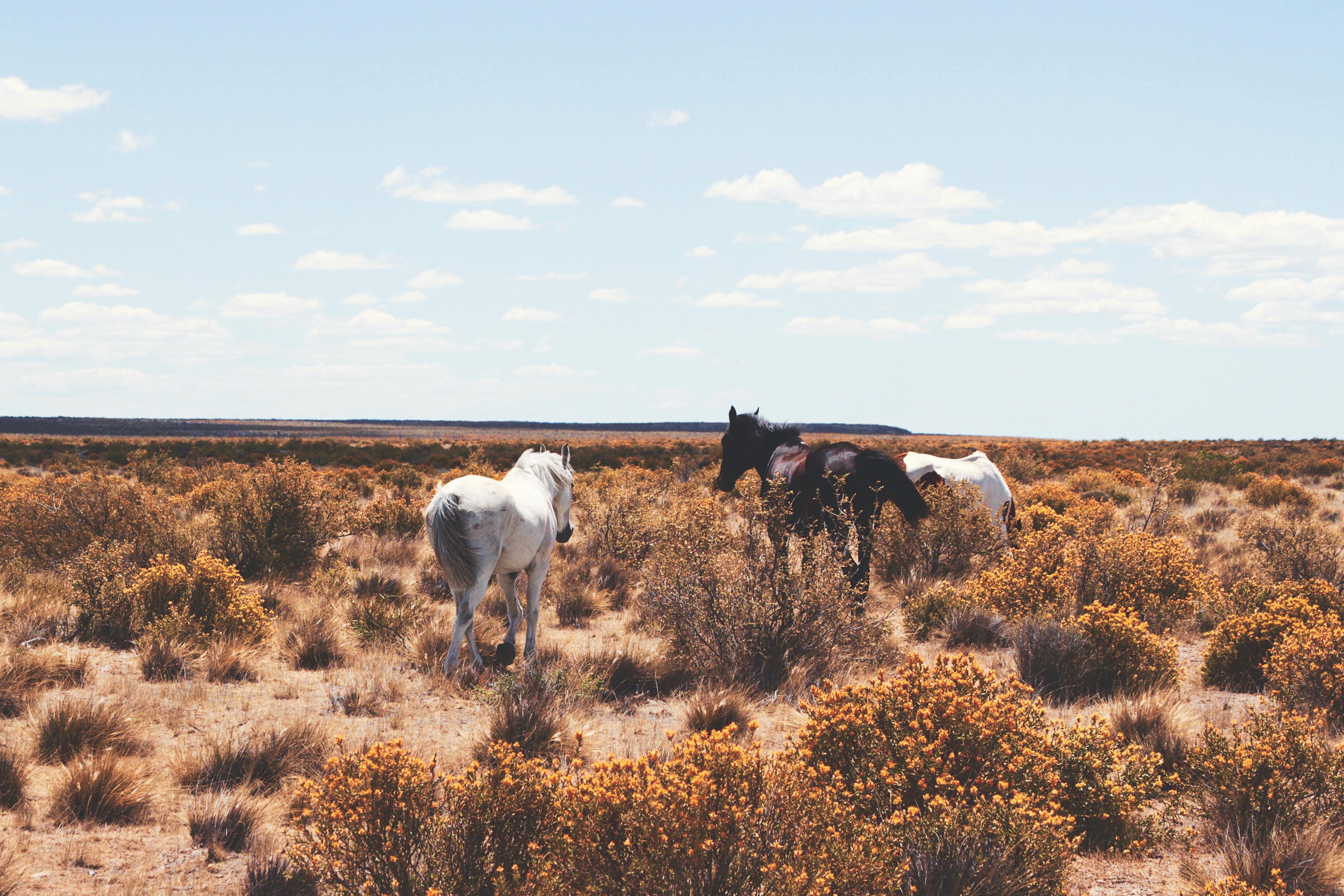 Three horses walking through a shrub-covered plain