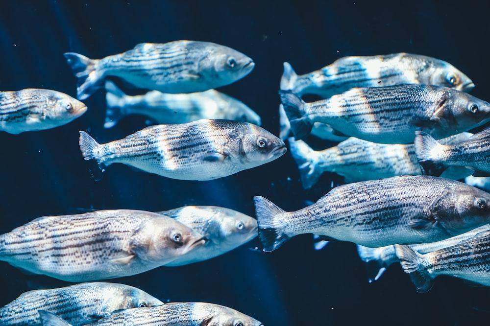 school of silver fish