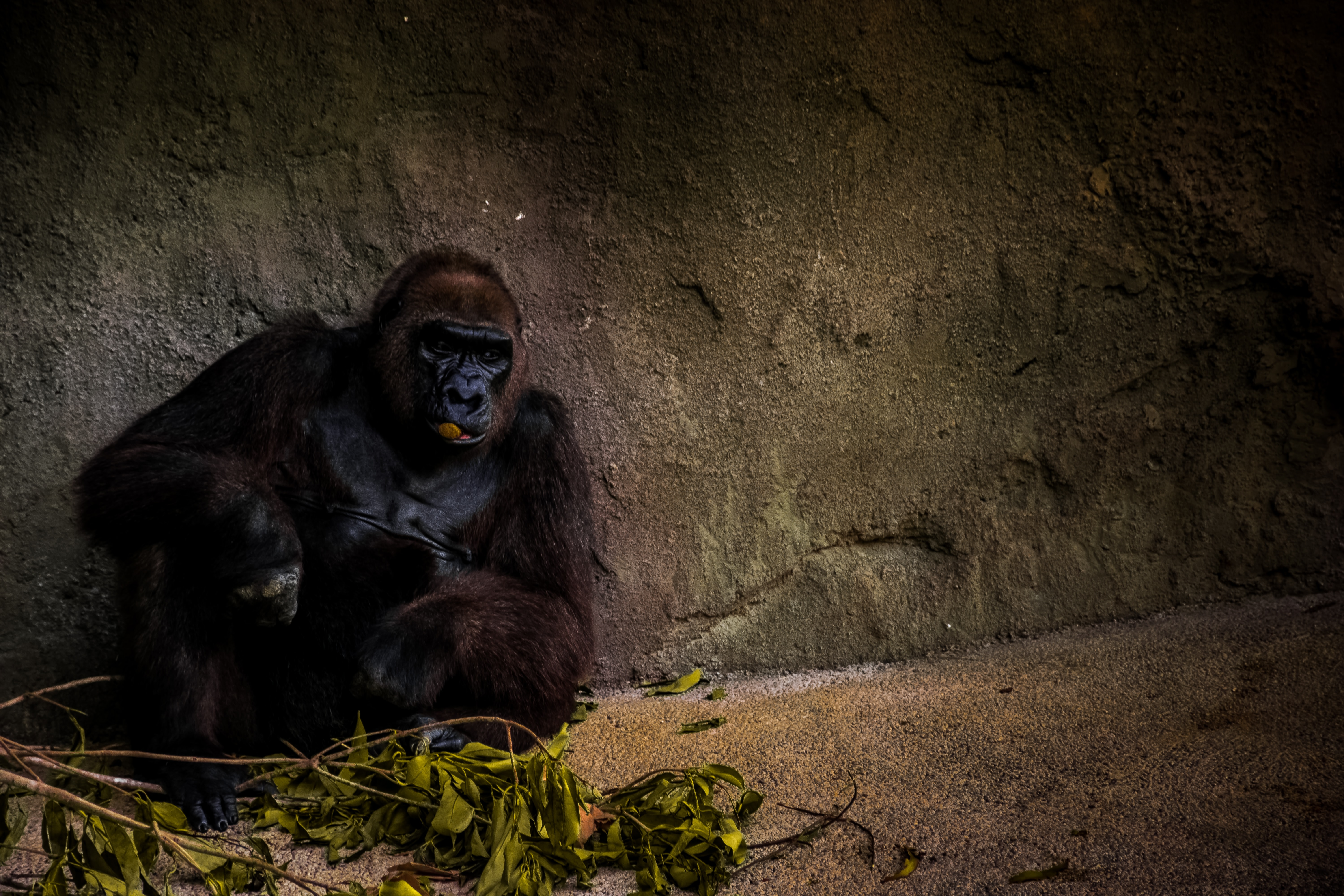 Gorilla sits alone by leaves in a stone enclosure at the zoo