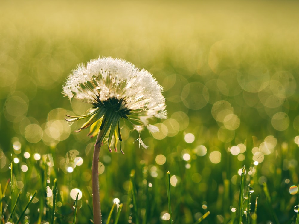 27 dandelion pictures download free images stock photos on unsplash white dandelion closeup photography mightylinksfo