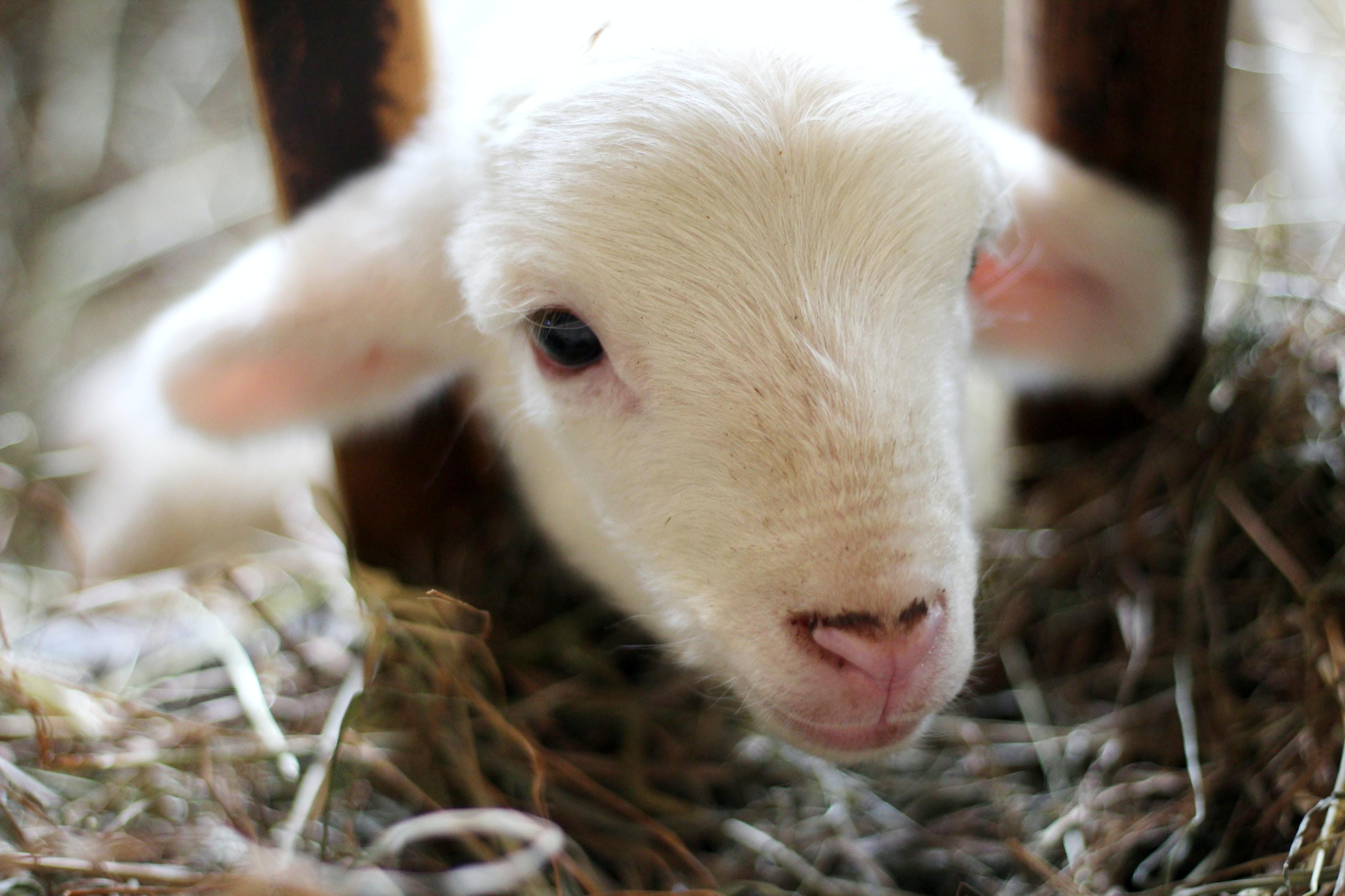 A baby lamb eating hay at Hancock Shaker Village