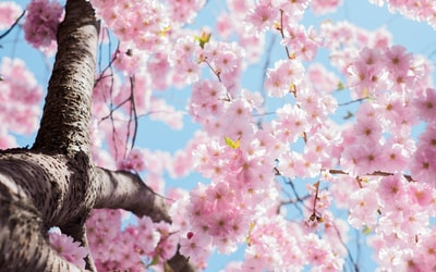 low angle photo of cherry blossoms tree flowers zoom background