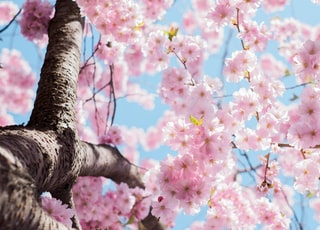 low angle photo of cherry blossoms tree