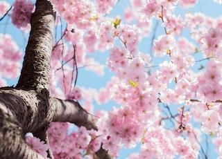 樱花树的低角度光
