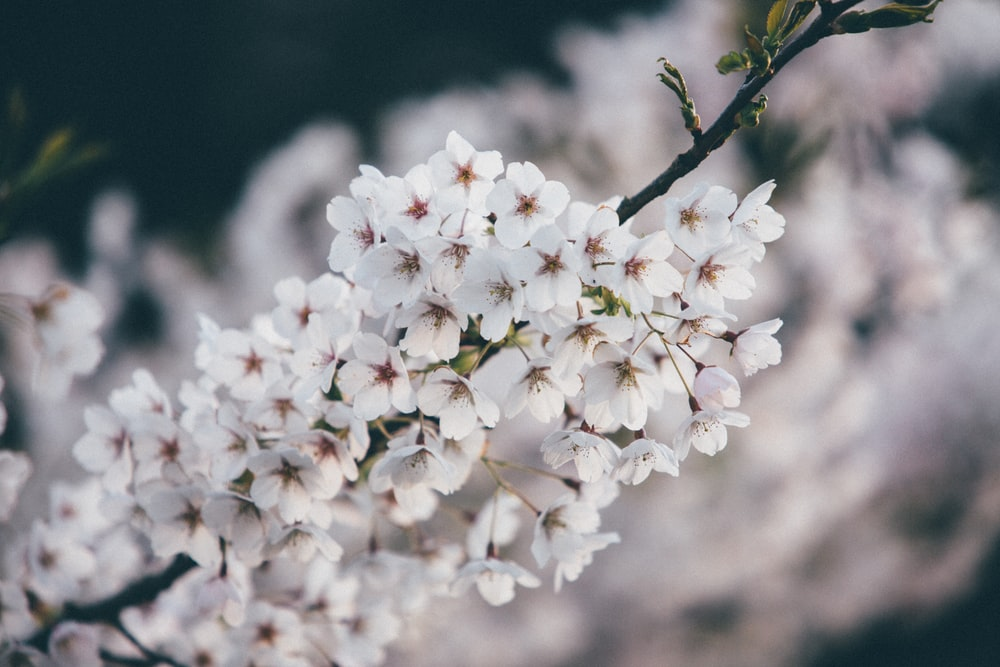 white cherry blossom flowers blooming