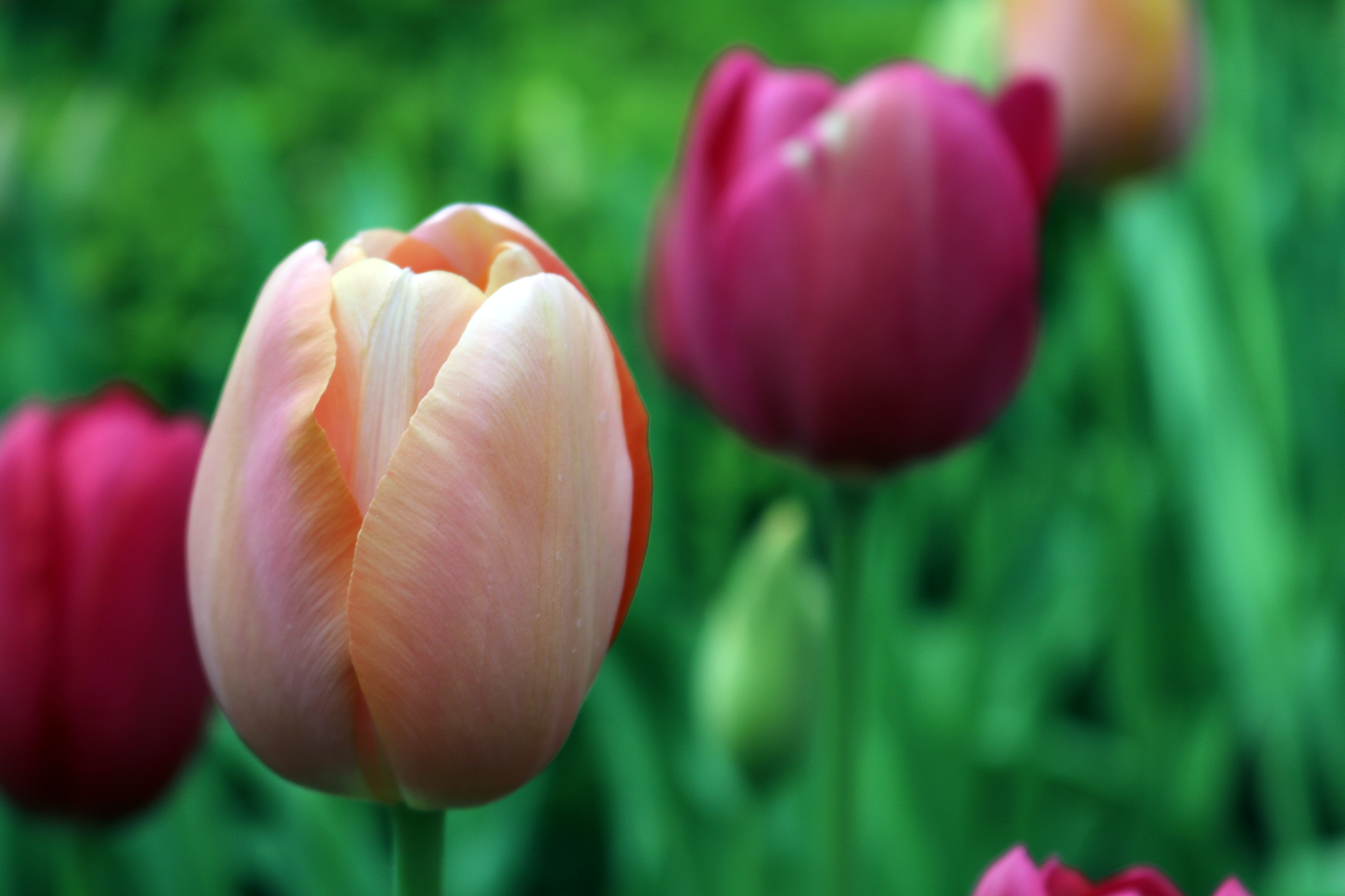 Close-up of pink and purple tulips in a garden