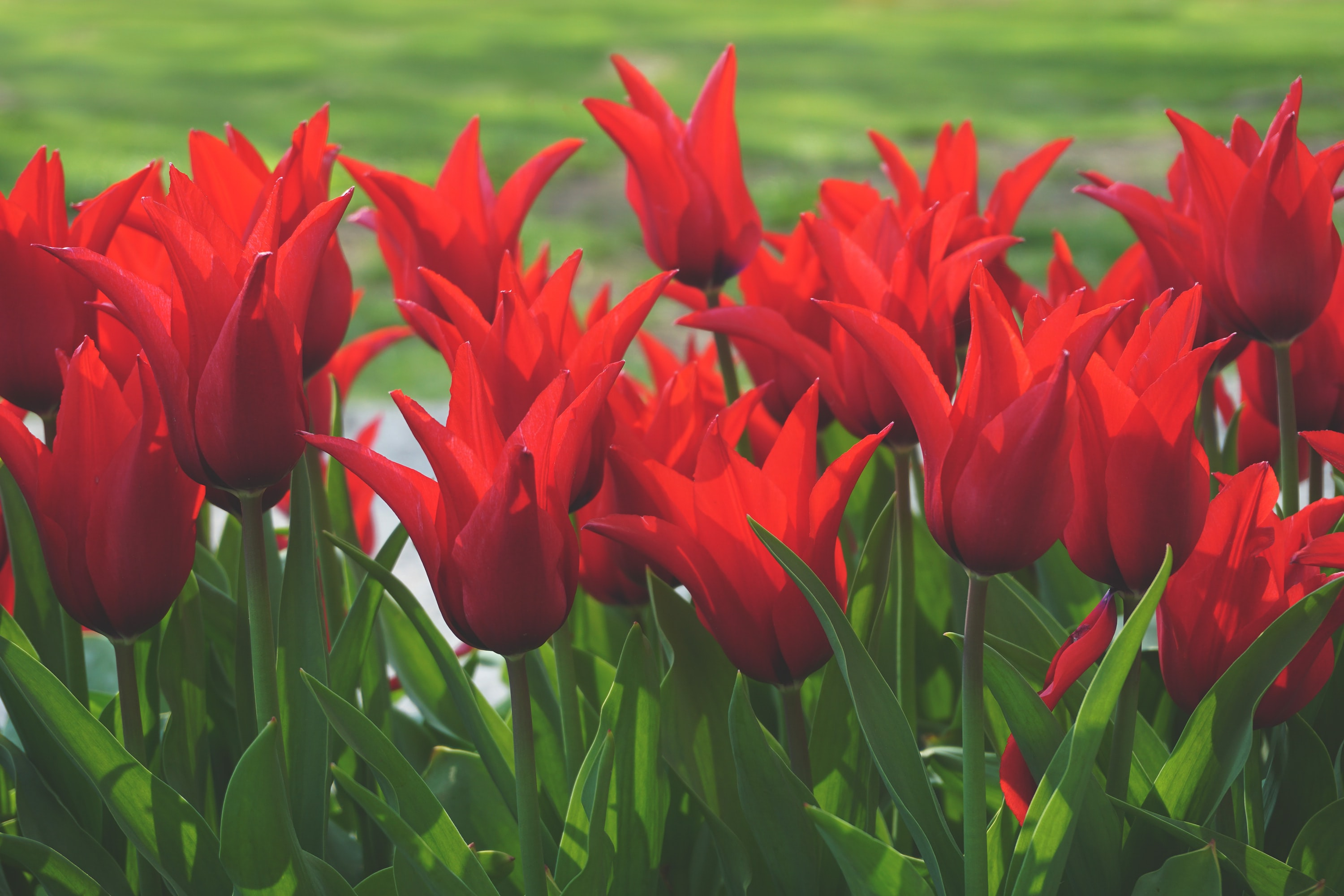Vibrant red tulips bloom in a field