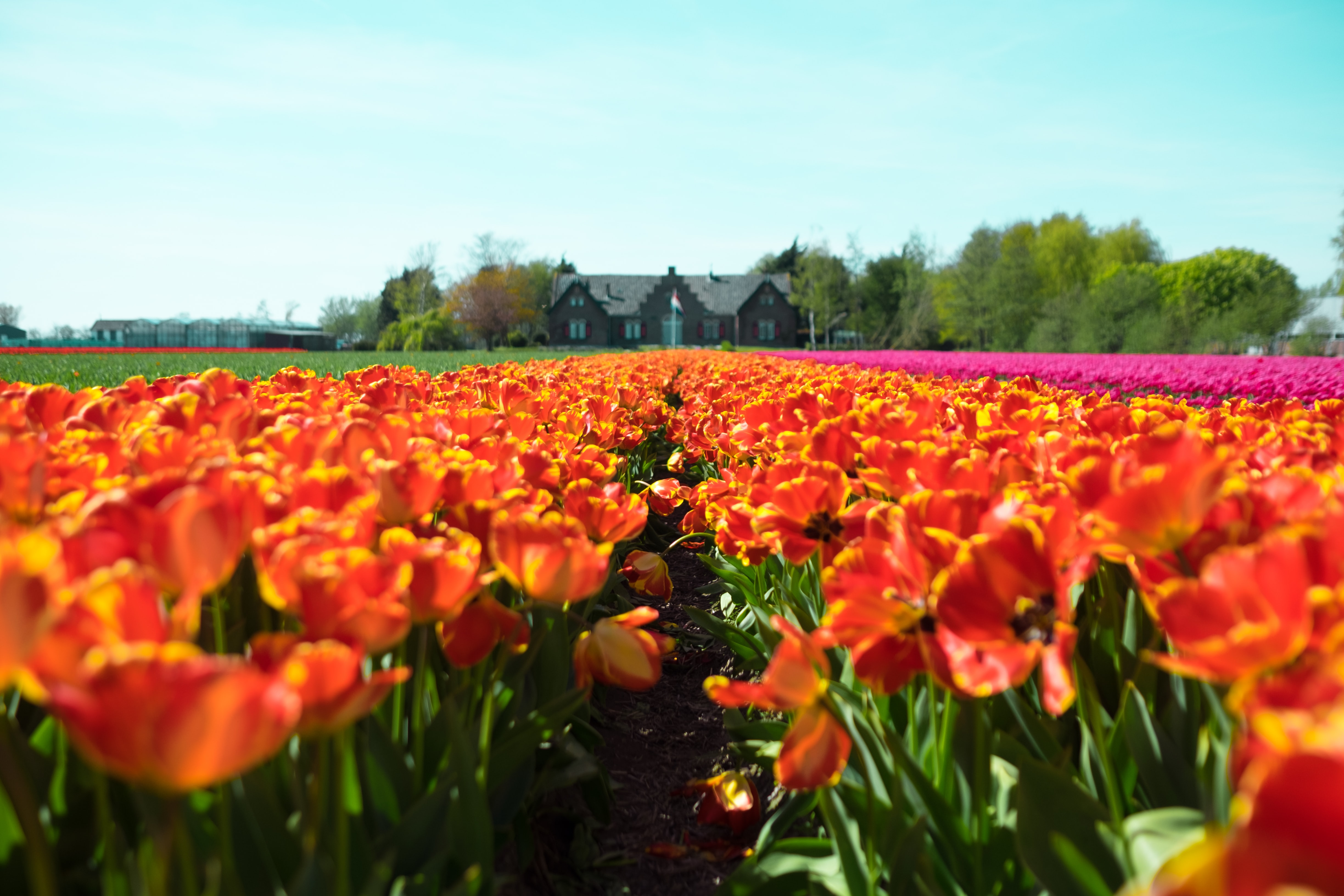 red-and-yellow petaled flower field near house at under teal sky
