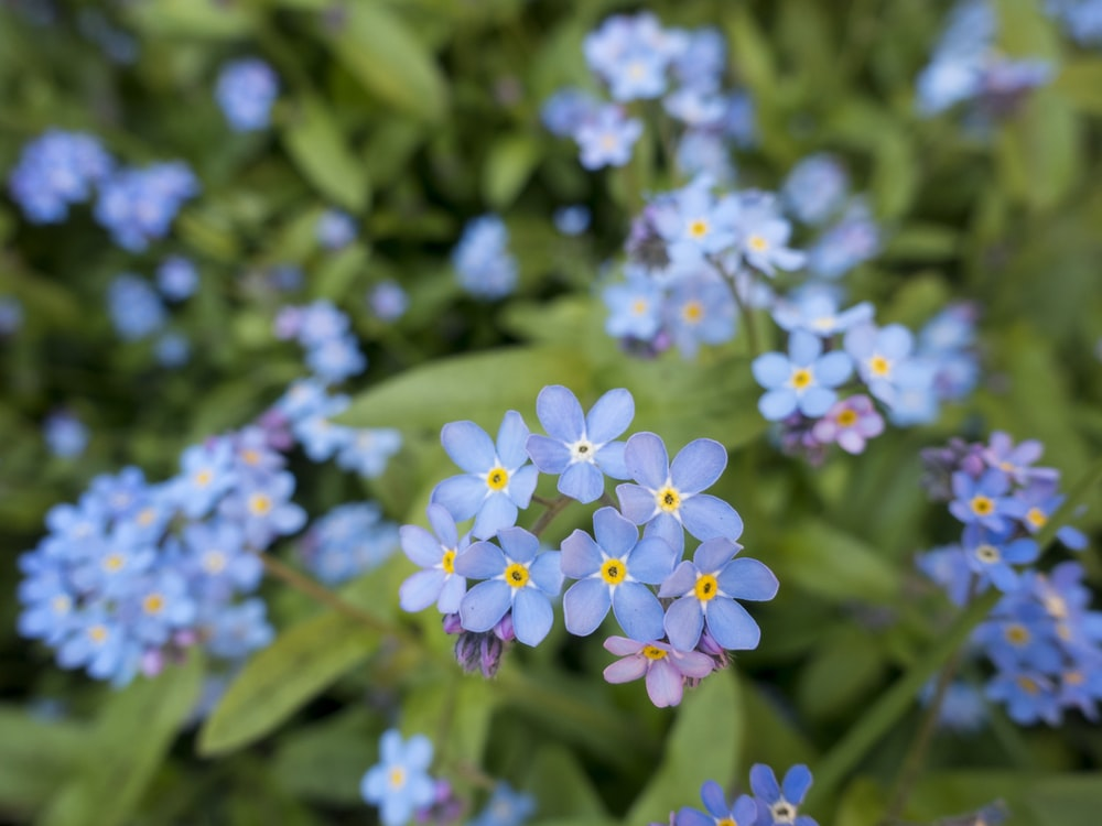 selective focus photography of blue flowers