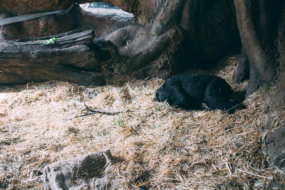 black monkey sleeping on brown grass