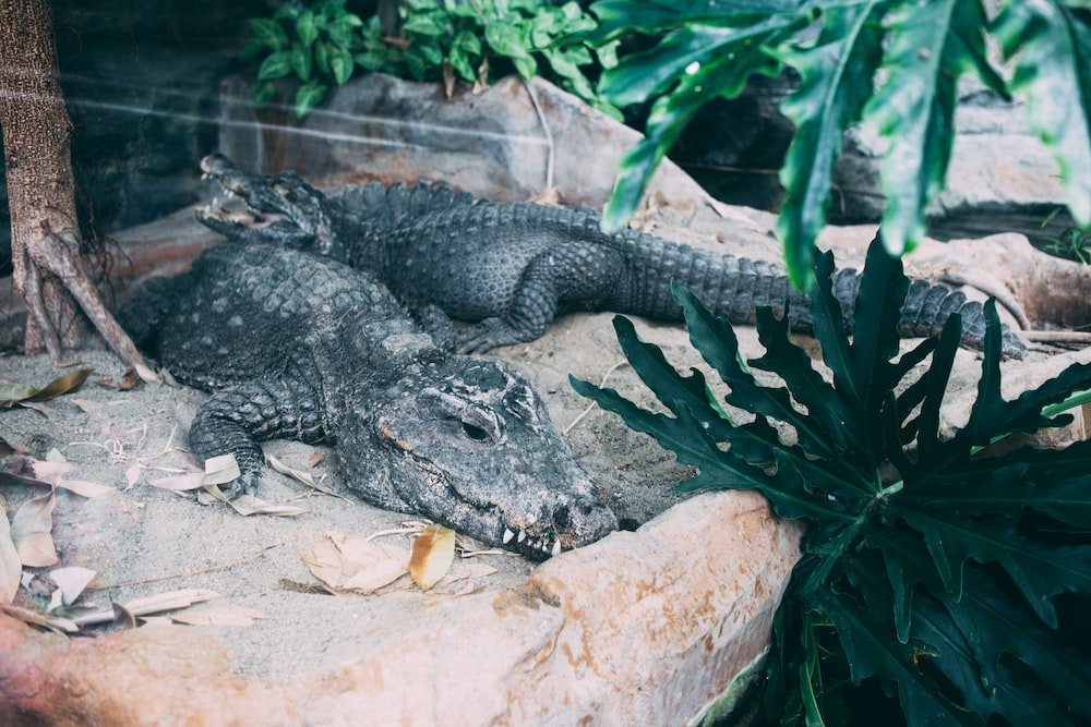 selective focus photography of two gray alligators