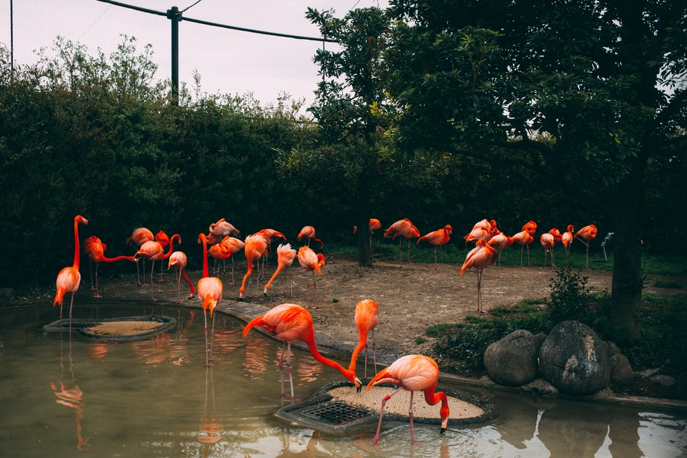 pink flamingos standing on and beside body of water