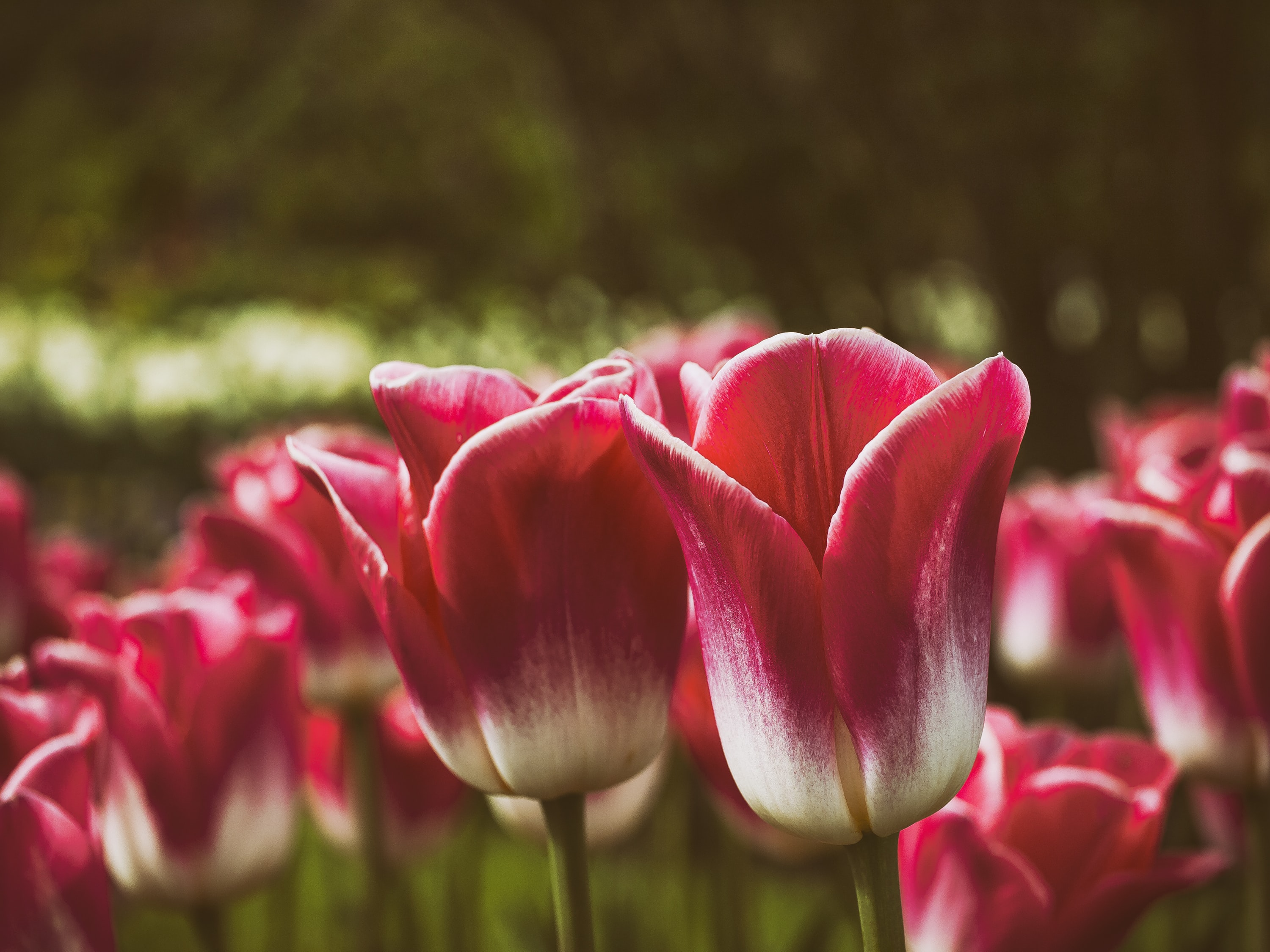 Red spring tulips bloom in a field of flowers
