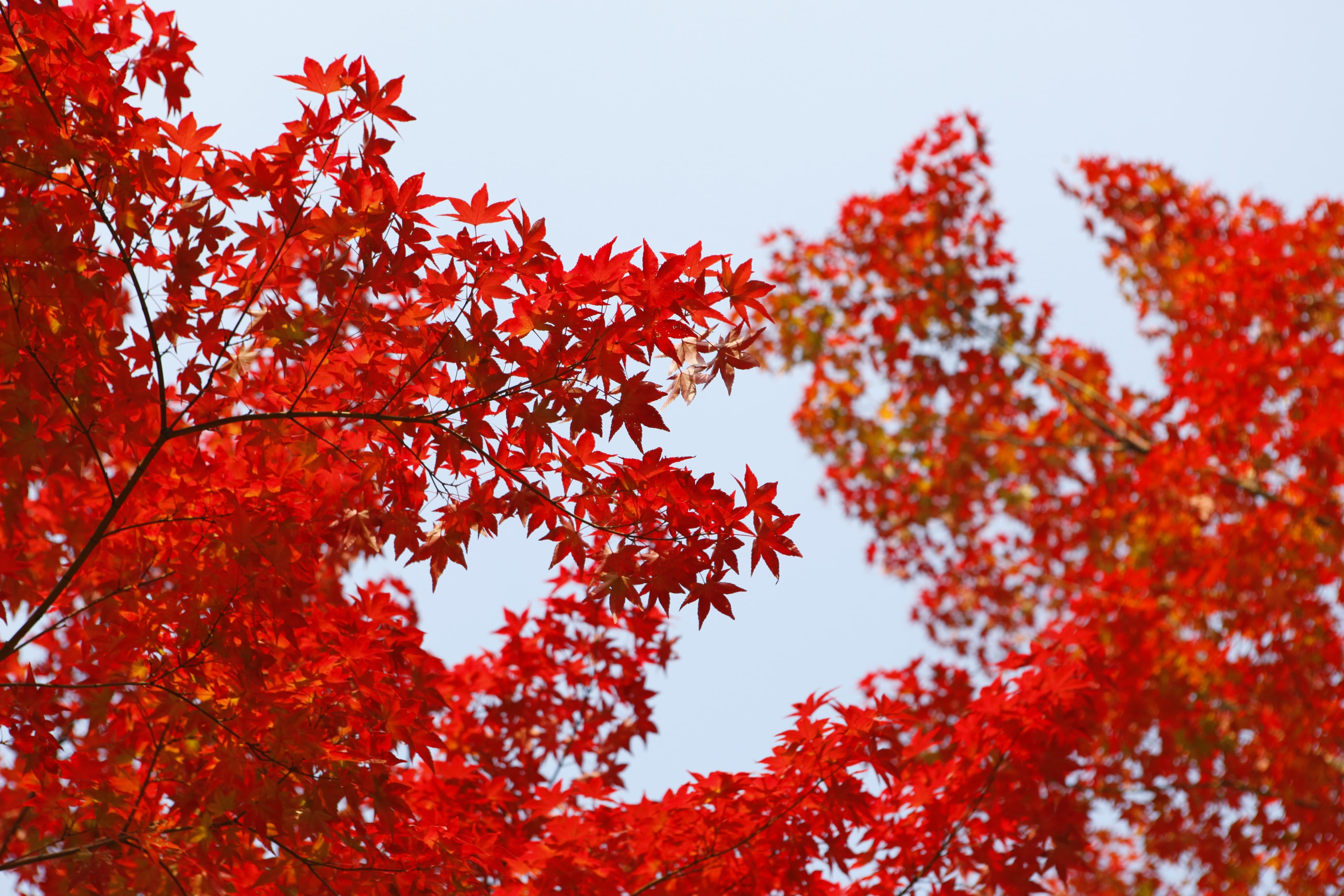 shallow focus photography of red leafed tree