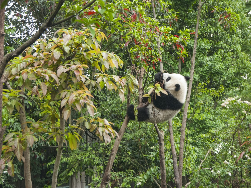 panda climbing on tree during daytime