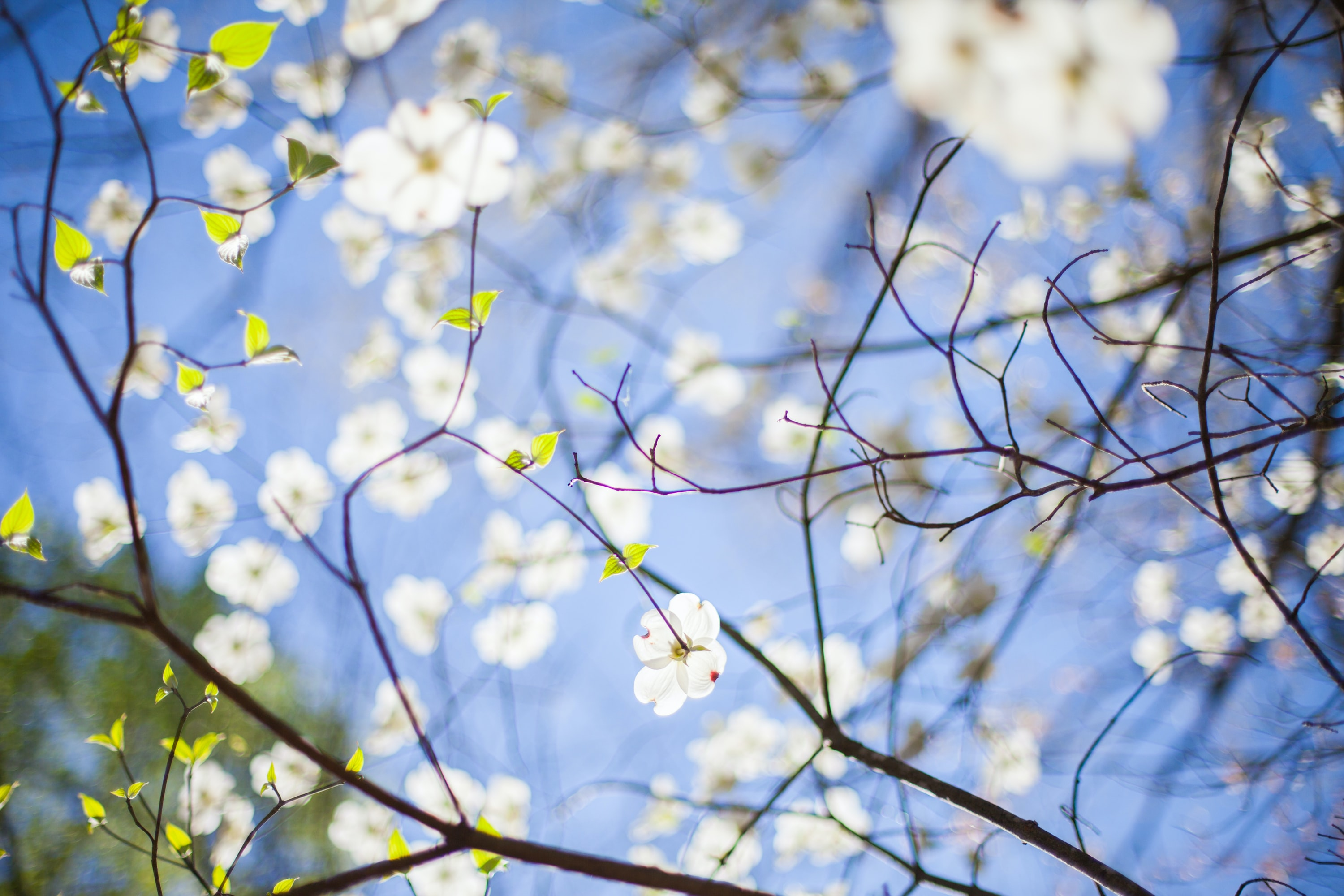 White blossom flowers in branches and blue sky in Spring, Raleigh