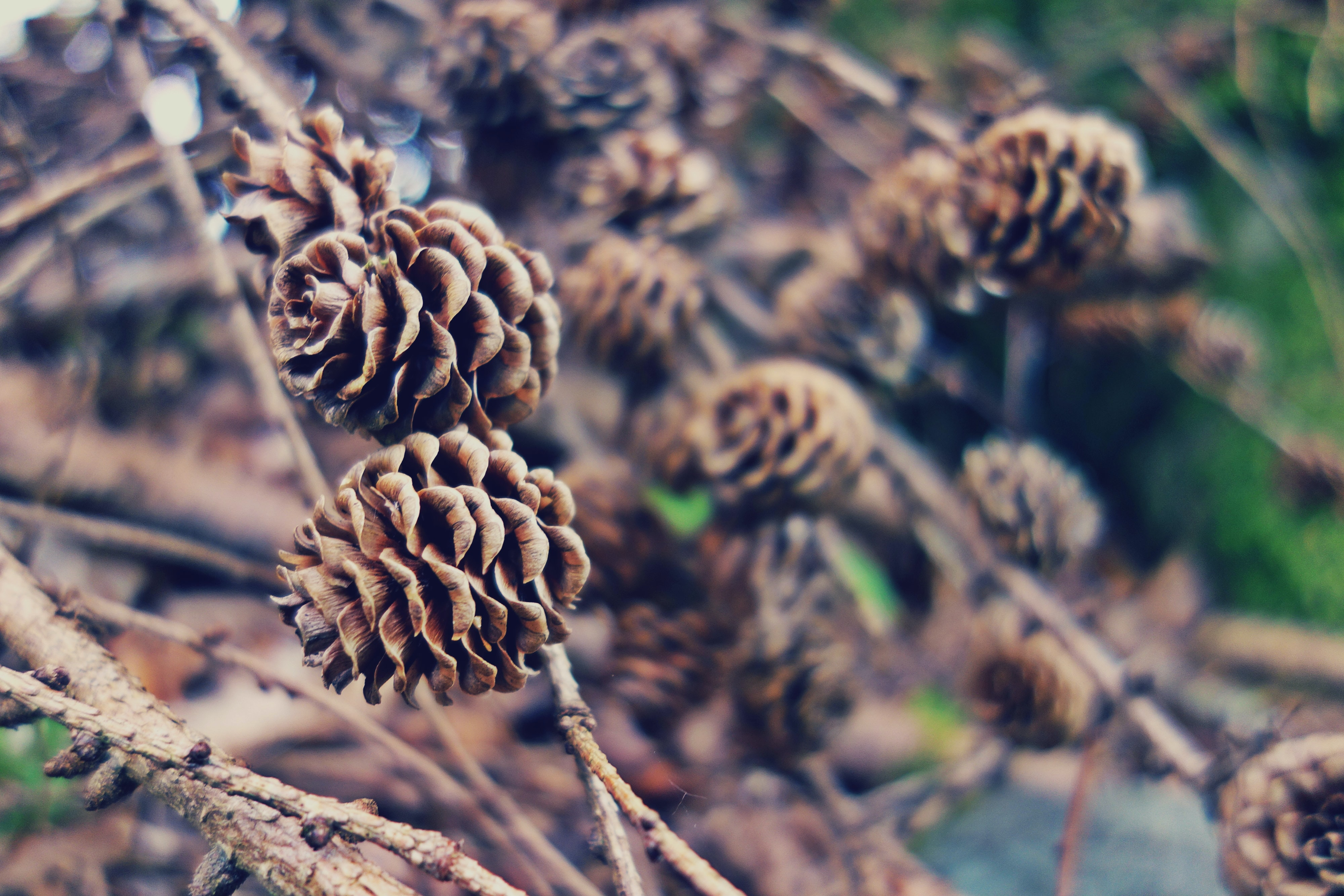 Pinecones on branches.