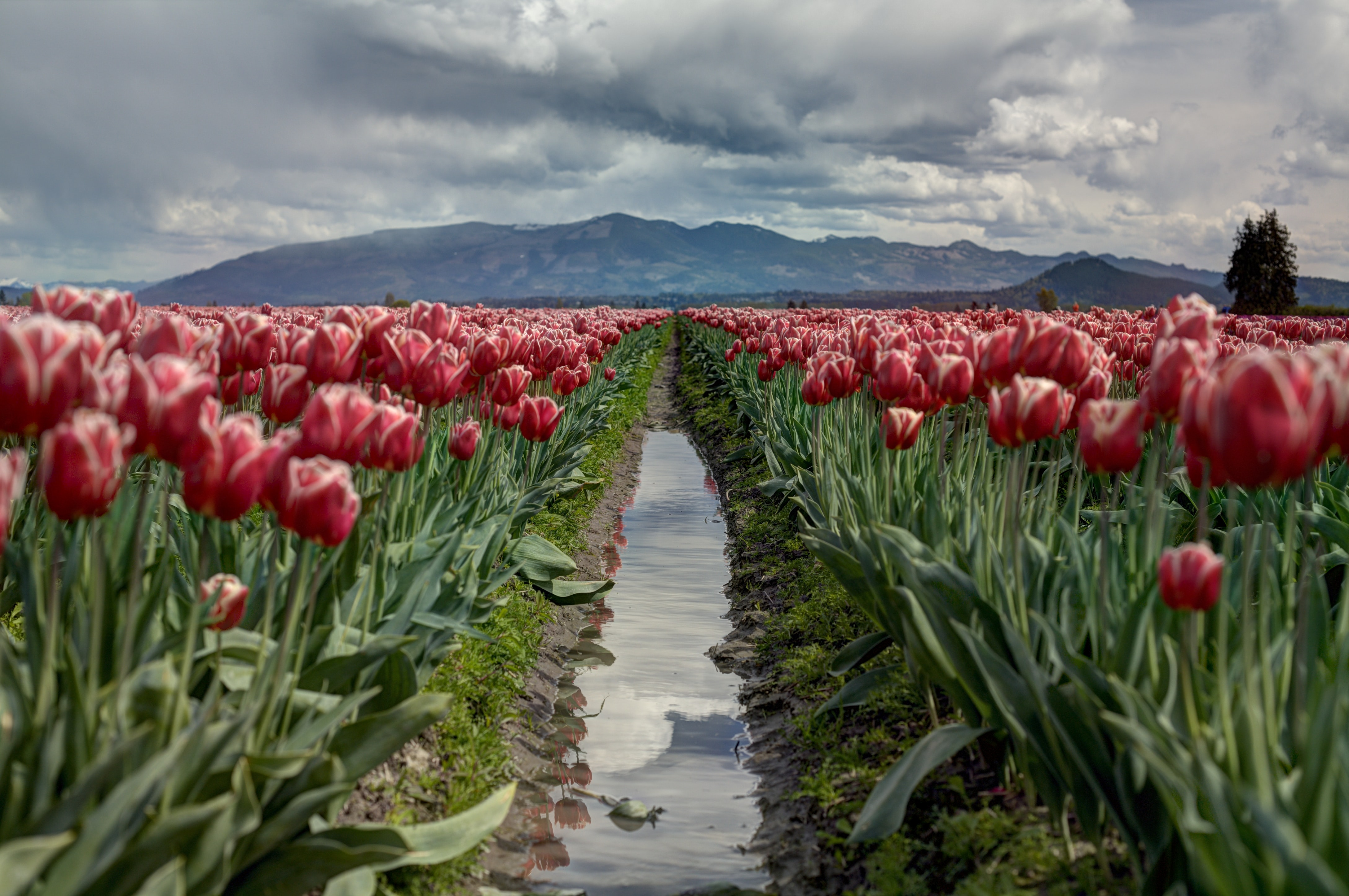 Walking path leads through a field of tulips to the mountains