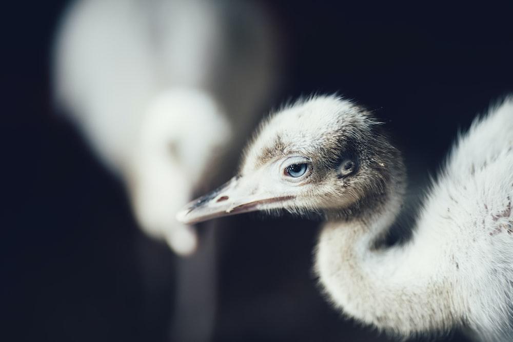 crane chick on black background