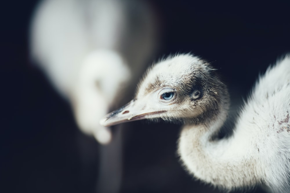 crane chick on black background