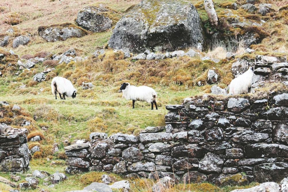 three white sheep standing near brown rocks