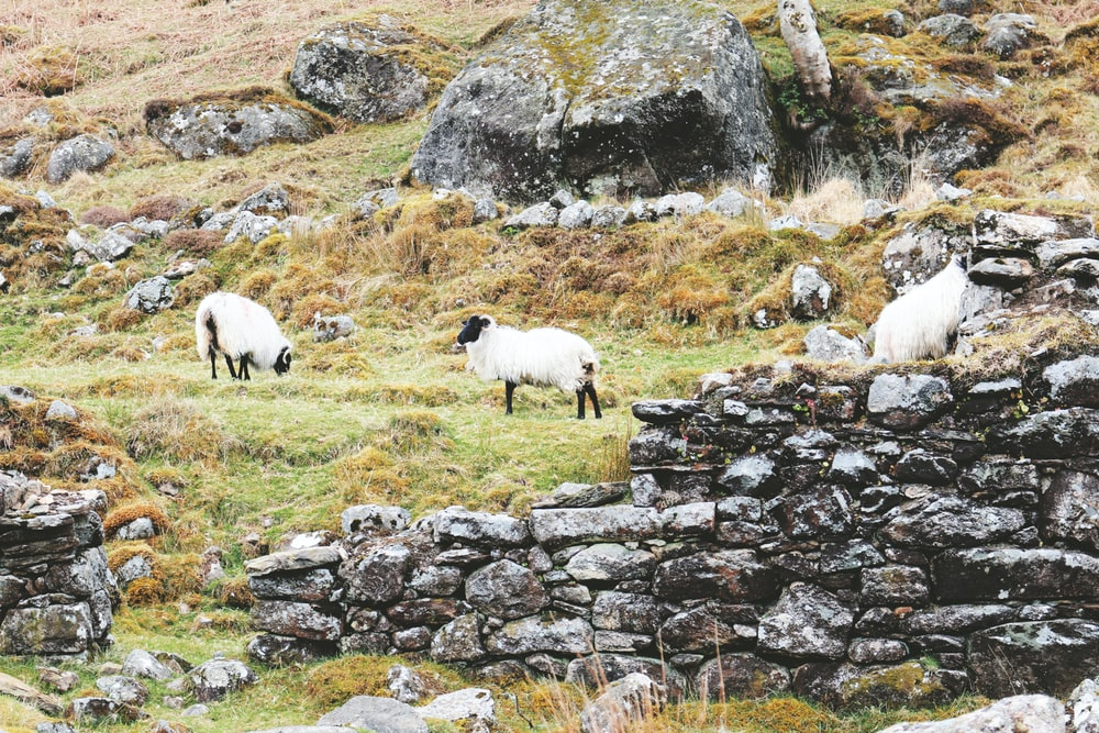 three white sheep standing near brown rocks