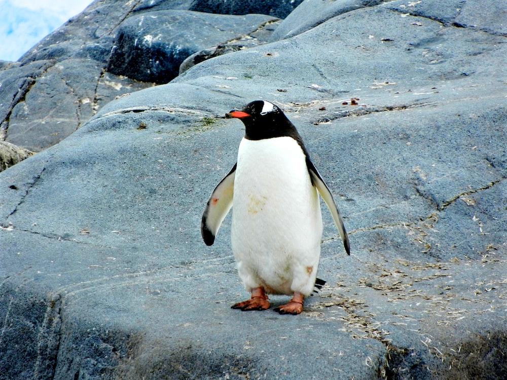 penguin standing on black rock