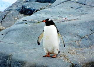 penguin standing on black rock