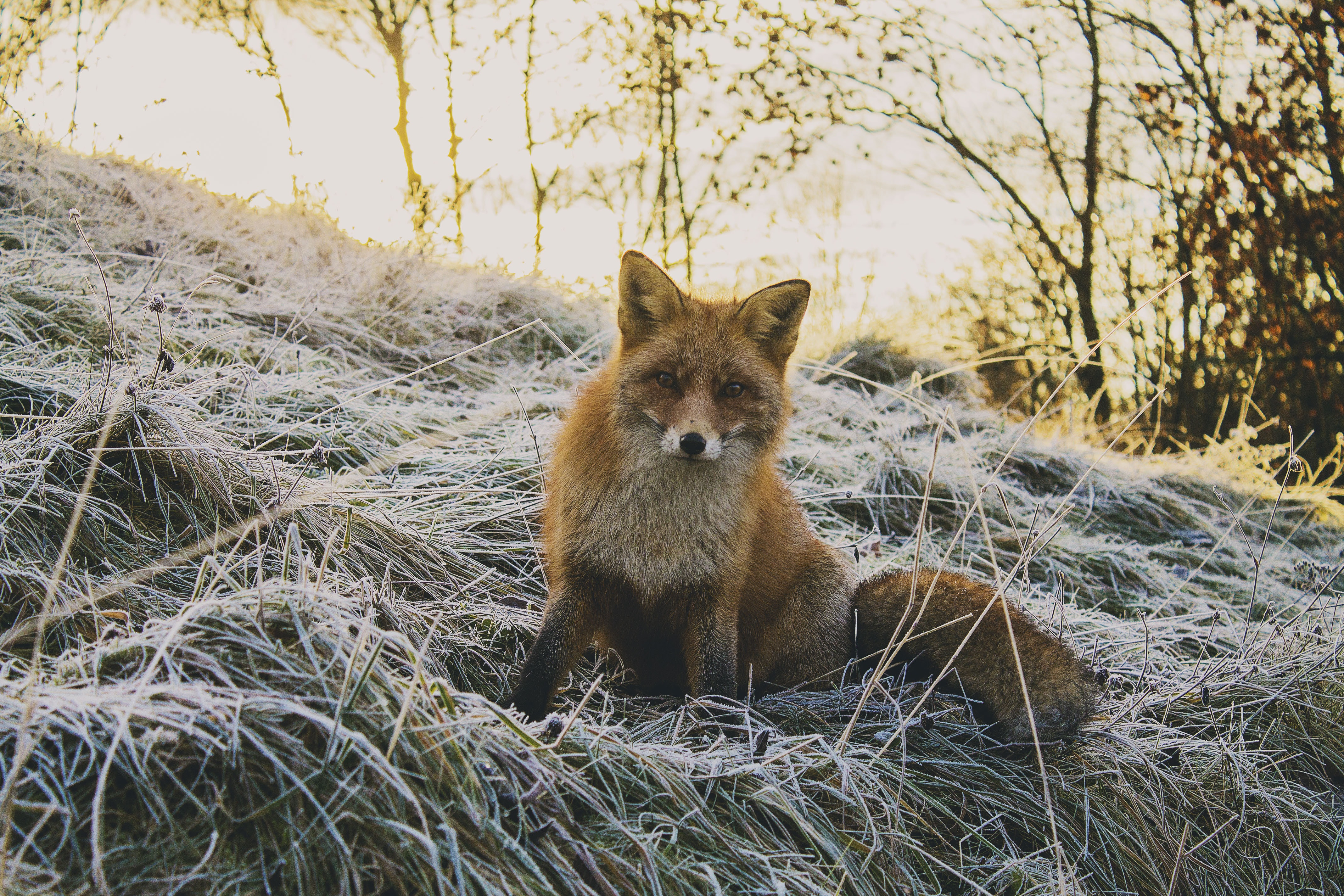 A docile fox sitting on dry grass
