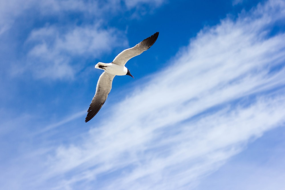 photo of flying white and black bird during daytime