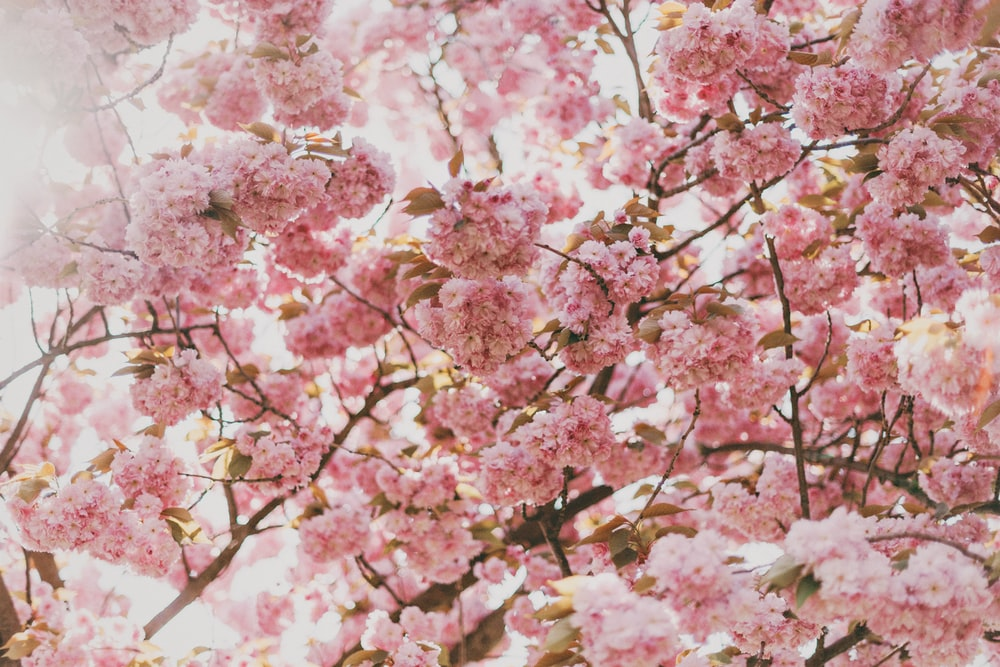 Wallpaper flower wallpapers flower background and floral pink cherry blossom tree under sunny sky mightylinksfo