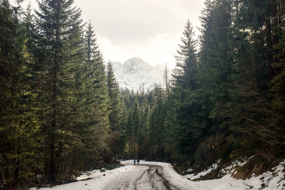 roadway coated with snow between green pine trees