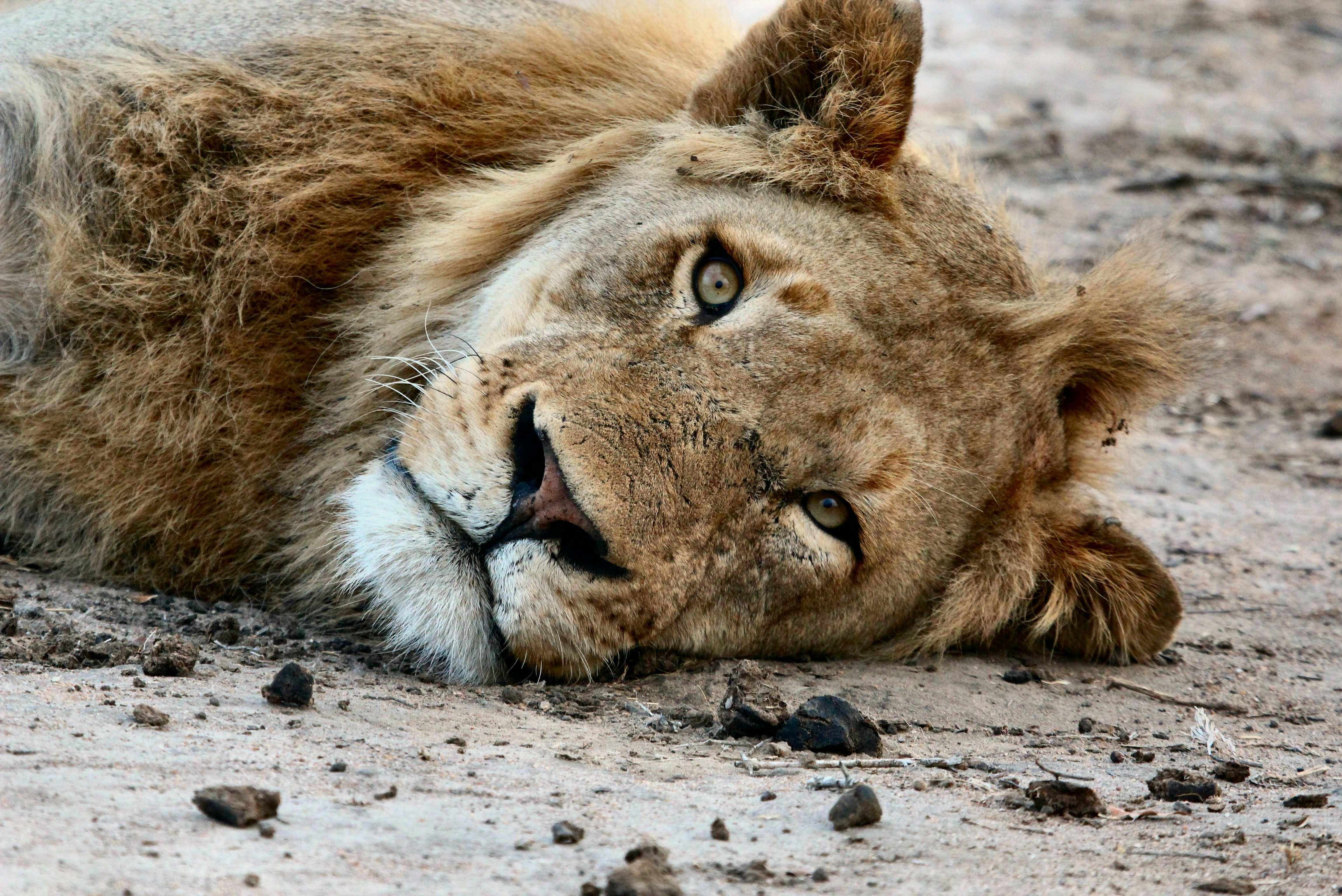 Close-up of the face of a lion lying on dirt ground