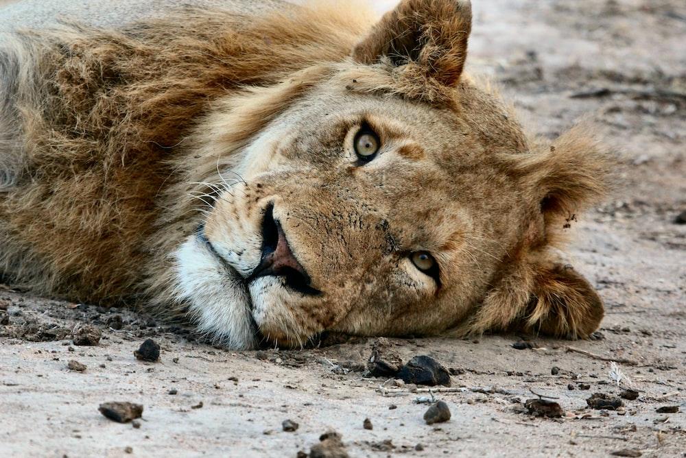 lioness lying on floor